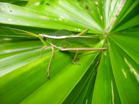 Mr. Alexanders Picture of a Grasshopper; Too Beautiful Not to Borrow