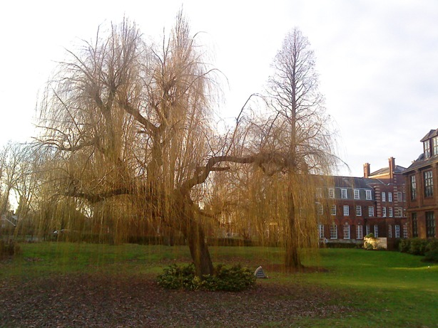 Weeping willow tree in the grounds of the University of Hull